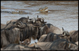 Crocodiles in Mara River waiting for Wildebeests to cross