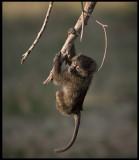 Young Baboon hanging loose... Masai Mara