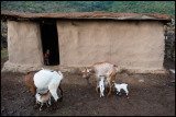 Laktating goats and boy in a nearby Masai Village