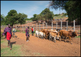 Bringing cattle to the market