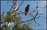 Bateleur - a very short-tailed Eagle