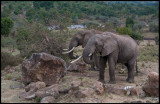 Elephants inside Mara Village - a problem for local citizens