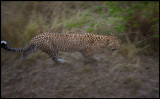 Leopard close encounter - Photo: Martin Breider