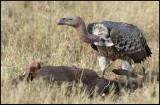 Rüppells Vulture on carcass