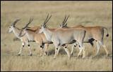 A flock of Eland in Masai Mara