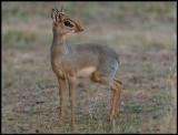 Dikdik - smallest of antelopes