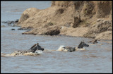 Zebra beeing attacked by a Crocodile in Mara River