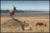 Topi guarding  Serengeti
