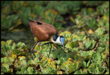 African Jacana - the bird with BIG feet!