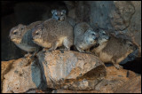 Rock Hyraxes warming up in the early morning sun