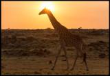 Giraff in Masai Mara Conservancy