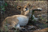 The most lazy animal in Mara?