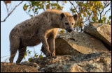 Hyena taking a look at our car....