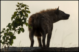 Hyena outside the lair at dawn