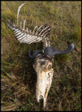 What is left of a Wlderbeest