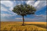Lonely Acacia in Mara