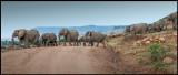 Elephants crossing the road north of Masai Mara