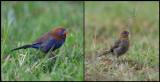 Purple Grenadiers
