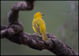 Holub`s Golden Weaver - Mara Concervancy