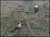 Go-away-birds