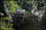 Immature African Crowned Eagle in the nest - Masai conservancy