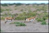 Goitered Gazelle (Krävgasell) - Shirvan NP