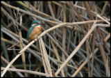 Common Kingfisher (Kungsfiskare) - Azerbaijan