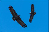 Black Vultures (Grågamar)
