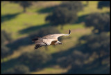 Griffon Vulture (Gåsgamar) over the Spanish Cork landscape