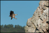 Griffon Vulture (Gåsgama) landing on the rock at Monfrague