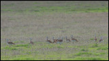 Great Bustards (Stortrappar) on the plain near Torrequemada