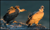 First rays of morning light - Griffon Vultures (Gåsgamar)