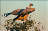 First rays of morning light - Griffon Vulture (Gåsgam)