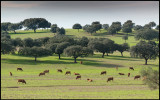 Cows and Cork Oaks near Albuquerque