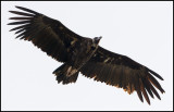 Black Vulture (Grågam)