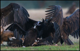 Black Vulture (Grågam) fighting on it`s back