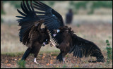 Oooouch - a claw in the backhead - Black Vulture fight