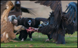 Vulture tug of war - who will be the winner???