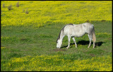 Horse in yellow field - Brozas