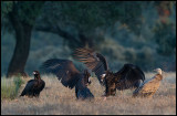 Vulture warming up in during sunrise….