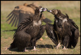 Black Vulture True Love 1