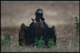 Black Vulture (Grågam) Ready to act...