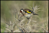 Goldfinch (Steglits)
