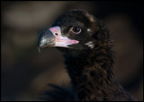 Young Black Vulture - a very dark bird