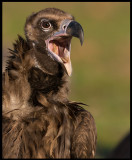 Black Vulture - a real beauty