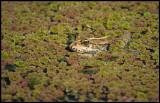 Marsh Frog (Sjögroda) - Azerbaijan
