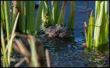 Mating frogs - Trönninge