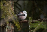 Long-tailed Tit (Stjärtmes)