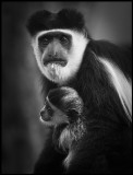 Pied Colobus with young