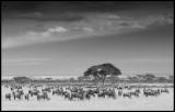 Wilderbeasts near Kilimanjaro
